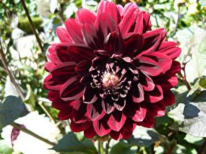 Bilder Georginen Großansicht Burgunder Farbe Blumen