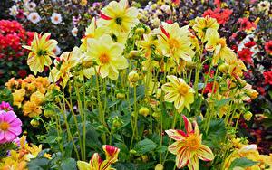 Hintergrundbilder Dahlien Großansicht Gelb Blüte