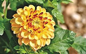 Fotos Georginen Großansicht Gelb Blüte