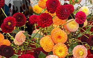 Tapety na pulpit Dalie Dużo Zbliżenie Kwiaty