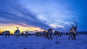 Fotos Hirsche Himmel Abend Schnee Herde Reindeer ein Tier