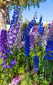 Bilder Rittersporne Nahaufnahme Bunte Blüte