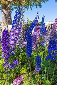 Desktop hintergrundbilder Rittersporne Nahaufnahme Bunte Blüte