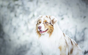 Bilder Hunde Shepherd Australian Tiere