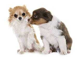 Bilder Hunde Chihuahua Shepherd Weißer hintergrund 2 Australian Shepherd Tiere