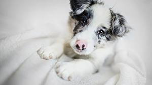 Wallpapers Dog Border Collie Puppies Staring Animals