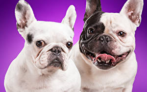 Wallpapers Dogs Bulldog 2 animal