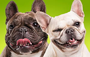 Pictures Dog Bulldog Two Snout animal