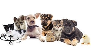 Images Dogs Cats Cuy Chicks White background Husky Jack Russell terrier Puppies Animals