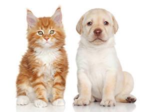 Hintergrundbilder Hunde Katze Maine Coon Weißer hintergrund Zwei Welpe Katzenjunges Labrador Retriever