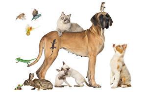 Hintergrundbilder Hunde Katze Kaninchen Frosche Papageien Mäuse Weißer hintergrund Australian Shepherd Deutsche Dogge Echsen Tiere