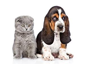 Desktop hintergrundbilder Hunde Katze Weißer hintergrund Basset Hound Katzenjunges 2 Tiere