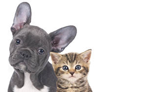 Desktop wallpapers Dog Cat White background 2 Bulldog Kittens Snout Animals