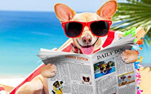 Fotos Hund Chihuahua Brille Zeitungen Zunge Lustiges ein Tier