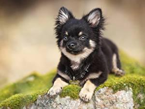 Hintergrundbilder Hund Chihuahua Welpen Pfote Unscharfer Hintergrund Tiere