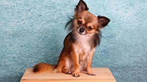 Photo Dogs Chihuahua Sitting Animals