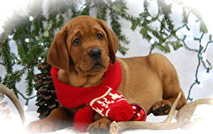 Pictures Dogs Christmas Puppy Labrador Retriever Scarf Esting Glance Lovely Animals