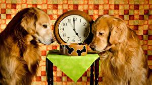 Bilder Hunde Uhr Golden Retriever Zwei Tiere
