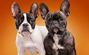 Image Dog Colored background Bulldog Two animal