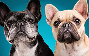 Wallpapers Dogs Colored background Two Bulldog Snout animal