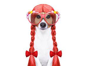 Bilder Hund Originelle Weißer hintergrund Jack Russell Terrier Brille Zopf Schleife Lustige Tiere