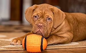 Image Dogs Dogue de Bordeaux Lying down Glance Ball Brown Puppies Animals