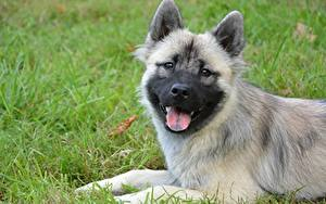 Image Dogs Grass Puppies Head Staring Tongue Eurasier Animals