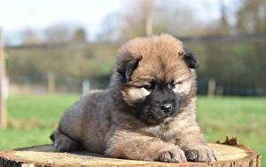 Images Dogs Eurasier Puppy Lying down Staring Animals
