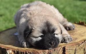 Picture Dog Tree stump Puppy Staring Eurasier Animals