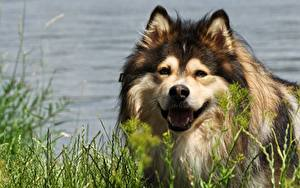 Images Dog Head Glance Grass Finnish Lapphund animal