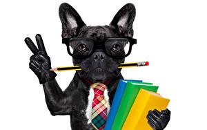 Fonds d'écran Chiens Bouledogue Doigts Fond blanc Noir Lunettes Crayon Livres Cravate Gant Rigolo un animal