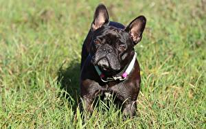 Photo Dog French Bulldog Grass Black Staring Animals
