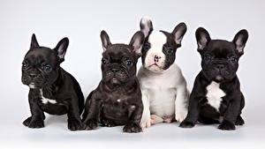 Fotos Hund Französische Bulldogge Grauer Hintergrund Welpe Sitzt Starren Vier 4 Tiere