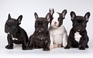 Pictures Dog French Bulldog Gray background Puppy Sit Staring Four 4 Animals