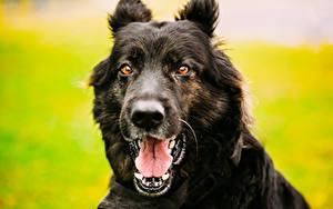 Bilder Hunde Deutscher Schäferhund Shepherd Schnauze Zunge Zähne Schwarz Blick