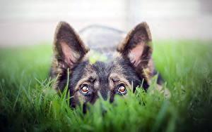 Hintergrundbilder Hunde Blick Gras Shepherd