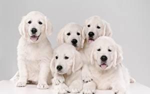 Desktop hintergrundbilder Hunde Golden Retriever Welpen Weiß 5 Tiere