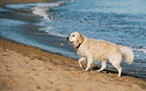 Bilder Hunde Golden Retriever Strand Nass Unscharfer Hintergrund Sand ein Tier