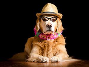 Bilder Hund Golden Retriever Schwarzer Hintergrund Brille Der Hut Starren