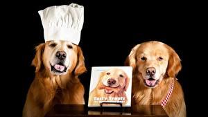Fotos Hund Golden Retriever Schwarzer Hintergrund Retriever