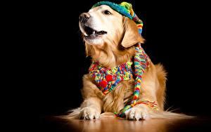 Fotos Hund Golden Retriever Schwarzer Hintergrund Mütze Schal