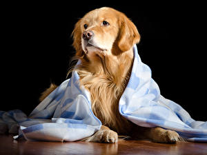 Bilder Hund Golden Retriever Starren