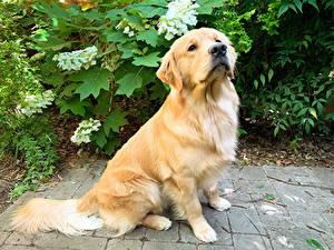 Fotos Hund Golden Retriever Blick Tiere