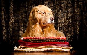 Hintergrundbilder Hund Golden Retriever Brille