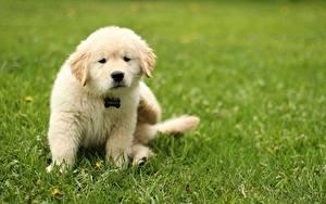 Fotos Hunde Golden Retriever Gras Rasen Tiere