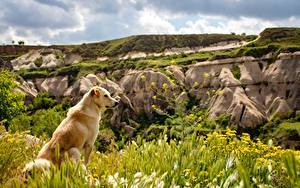 Bilder Hunde Golden Retriever Gras Sitzen