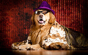 Bilder Hund Golden Retriever Der Hut Brille Tiere
