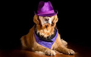 Fotos Hunde Golden Retriever Der Hut Liegen Pfote Tiere