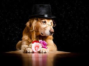 Fotos Hund Golden Retriever Rosen Brille Der Hut Tiere