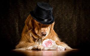 Hintergrundbilder Hund Golden Retriever Rosen Der Hut ein Tier